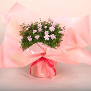 薔薇:ミニ極姫ばら 姫乙女*ラッピング付き|y-bonsai