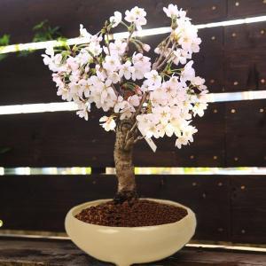 桜盆栽:特選吉野桜(大)(よしのさくら)(染井吉野)*(2019年 開花終了)|y-bonsai