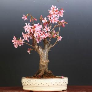 桜盆栽:特選雅桜*(白太鼓鉢)2020年 春 開花予定|y-bonsai