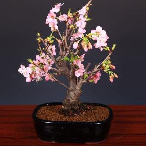 桜盆栽:特選河津桜(かわつざくら)*2020年 春 開花予定|y-bonsai