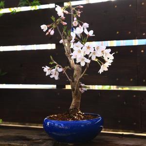 桜盆栽:特選染井吉野桜 瀬戸焼青鉢*(2020年 春 開花予定)|y-bonsai