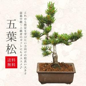 小品盆栽:五葉松(国産長方鉢)*|y-bonsai