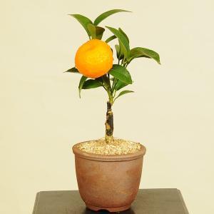 小品盆栽:シークヮーサー*|y-bonsai