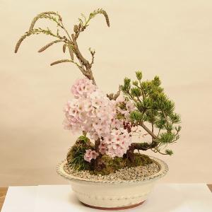 豪華寄植桜盆栽:藤・御殿場・五葉松寄せ植え(白丸陶器鉢)*2020年 春 開花予定|y-bonsai