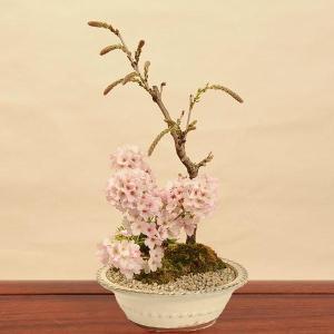 豪華寄植桜盆栽:藤・御殿場寄せ植え(紺丸陶器鉢)*2020年 春 開花予定|y-bonsai