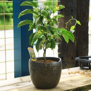 中品盆栽:斑入ジャンボサルナシ(西尾ゼブラ)(瀬戸焼黒釉薬鉢)*じゃんぼさるなし|y-bonsai