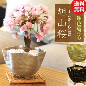 桜盆栽 鉢色選べる:ミニ一才桜*(信楽花型小鉢)2019年春開花終了|y-bonsai