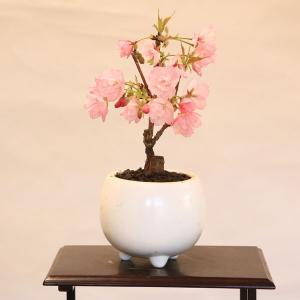 ミニモダン盆栽:一才桜* 鉢を選んでください 桜盆栽  さくら盆栽 2019年春開花終了  お花見 誕生日 祝 旭山桜 ギフト gift プレゼントにも|y-bonsai