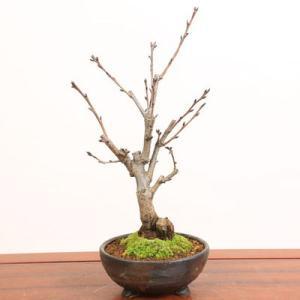 桜盆栽:雅桜(信楽焼金彩足付丸鉢)*みやび桜 2018年春開花|y-bonsai