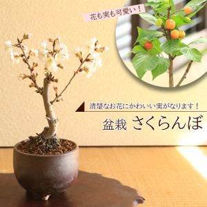 ミニ盆栽:さくらんぼ/サクランボ* 2020年 春 開花予定 桜桃(信楽焼小鉢)* 観てよし!食べて良し!|y-bonsai