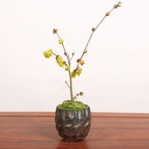 ミニ盆栽:土佐水木(とさみずき)信楽焼小鉢*日本の四国原産の美しい春の花木|y-bonsai