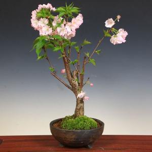 桜盆栽:特選四季咲性大輪八重桜*(信楽焼金彩足付丸鉢)|y-bonsai