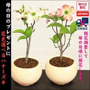 遅れてごめんね 母の日ギフトミニ盆栽:母の日開花ハナミズキ*花色選べる 花水木 プレゼント 鉢植え 鉢花 はなみずき|y-bonsai