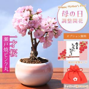 母の日ギフト桜盆栽:母の日開花桜*(萬古鉢) (ご予約受付中) ラッピング付です プレゼント鉢植え 鉢花 さくら花見|y-bonsai