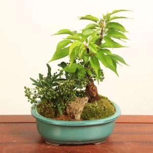 盆栽:桜・ピラカンサ寄せ*2020年 春 開花予定 祝い ギフト gift 誕生日祝 御祝 プレゼント|y-bonsai