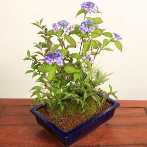 夏ギフト 盆栽:山アジサイ寄せ*|y-bonsai
