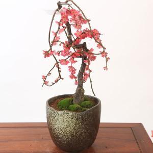 中品盆栽:雲竜しだれ梅(紅梅)(瀬戸焼鉢)*独特な枝に紅梅がたくさん咲きます|y-bonsai