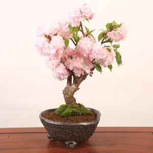 桜盆栽:牡丹桜変形丸鉢(信楽焼鉢)*ぼたん桜 2019年春開花終了|y-bonsai