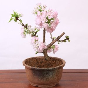 桜盆栽:旭山桜輪花鉢(瀬戸焼鉢)* 2020年 春 開花予定|y-bonsai