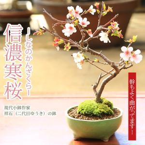 桜盆栽:信濃寒桜*【送料無料】【即日出荷可】|y-bonsai