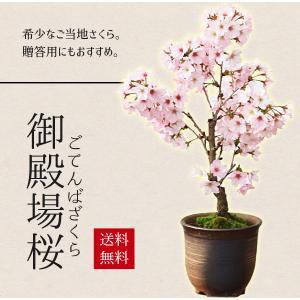 桜盆栽:御殿場桜(瀬戸焼金吹鉢)*【送料無料】【即日出荷可】2019年開花終了|y-bonsai