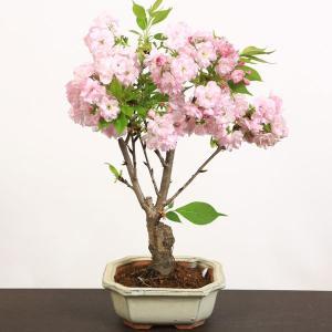 桜盆栽:ようきひ桜(角切長方陶器鉢)*楊貴妃 春 花 鉢植え 和 さくら お花見 誕生日 祝 旭山桜 ギフト gift プレゼントにも|y-bonsai