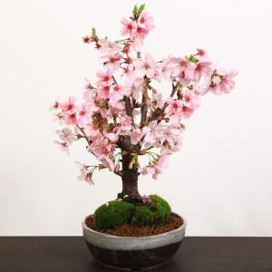 桜盆栽:陽光桜(信楽焼鉢)*花 さくら 鉢植え 鉢花 プレゼント 花見 2019年春開花終了|y-bonsai