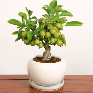 遅れてごめんね 敬老の日 小品盆栽:姫りんごちゃん*(モダン白丸鉢受け皿付) 鉢植え 実 プレゼントにも|y-bonsai