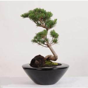 モダン盆栽:五葉松*(あすか鉢石付)プレゼント にも y-bonsai