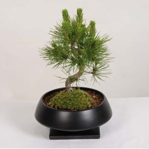 モダン盆栽:黒松*(須磨黒鉢受皿付)プレゼント にも y-bonsai