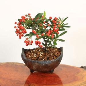 小品盆栽:ピラカンサ(トキワサンザシ)*国産木の葉鉢 和 鉢植え 実物 秋|y-bonsai