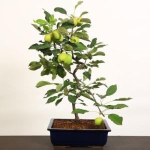 中品盆栽:乙女りんご*国産長方鉢|y-bonsai