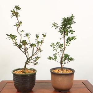 遅れてごめんね 母の日ギフトにも 中品盆栽:皐月(さつき・萬古焼深鉢)*鉢品種選べる サツキ satsuki 送料無料|y-bonsai