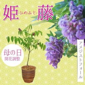 遅れてごめんね 桜盆栽:母の日開花姫藤(萬古焼深鉢) *【送料無料】|y-bonsai