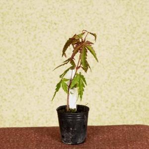 プチ苗:山もみじ* y-bonsai