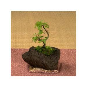 ミニ盆栽:楓石付け*