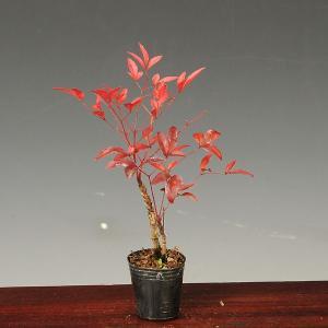 プチ苗:南天(赤南天・白南天・紅白南天)|y-bonsai