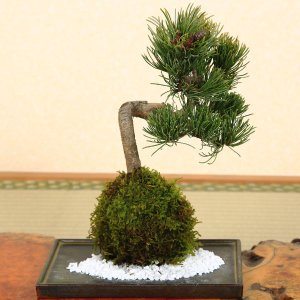 苔玉:五葉松(受け皿付)*|y-bonsai