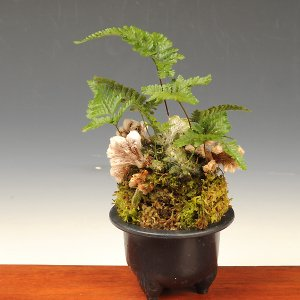 山野草:ネコの手シノブ・石化シノブ*|y-bonsai
