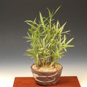 山野草:縞笹寄せ(瀬戸焼鉢)|y-bonsai
