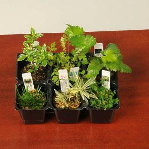 お得  :山野草6ヶセット*(まとめ割)|y-bonsai
