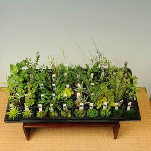お得   :山野草50ヶセット*(まとめ割)|y-bonsai