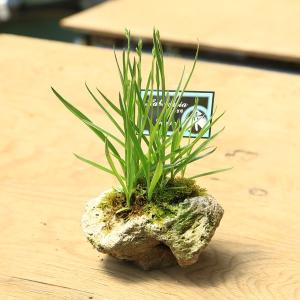 山野草:サギソウ・新銀河 石付き|y-bonsai