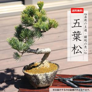 小品盆栽:五葉松(瀬戸焼変形鉢)* 祝い ギフト gift 誕生日祝 開店祝 御祝 プレゼントにも|y-bonsai