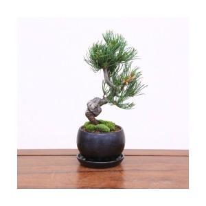 小品盆栽:五葉松(信楽焼丸鉢)* 鉢植え祝い ギフト gift 誕生日祝 開店祝 御祝 プレゼントにも|y-bonsai