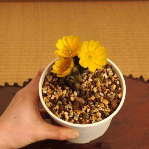 迎春:福寿草 3芽