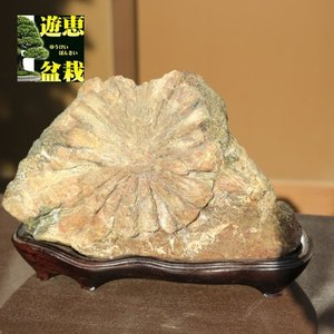 水石:菊花石【現品】|y-bonsai