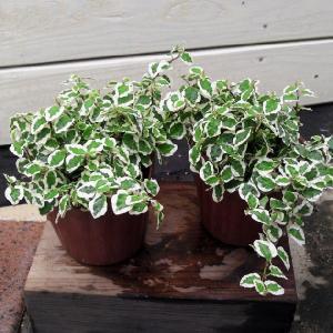 観葉植物 おしゃれ 苗:フィカス プミラ  サニーホワイト*2個セット ぷみら y-bonsai