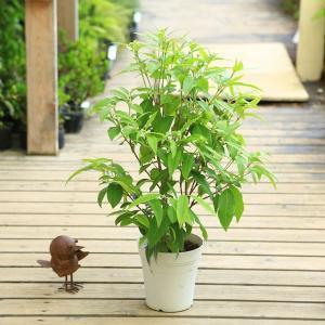 観葉植物 鉢花:レモンマートル*5号|y-bonsai