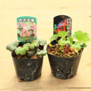 花苗 山野草:大文字草*ダイモンジソウ 2個セット 花色おまかせ|y-bonsai